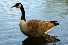 goose-1